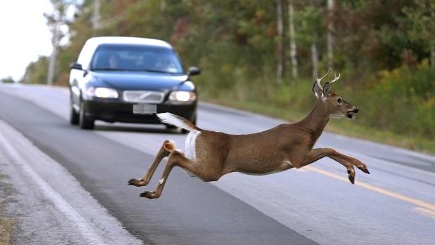 Uważajmy na zwierzęta na drogach, kilka kolizji