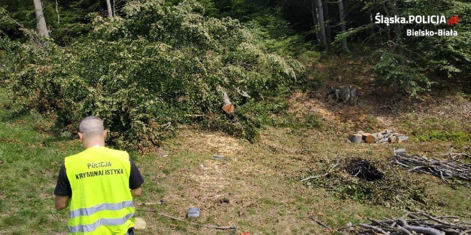 Policjanci zatrzymali leśnego złodzieja. Wyciął prawie 30 drzew