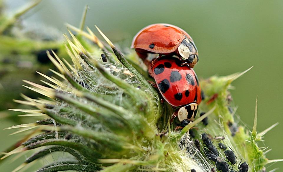 Inwazja biedronek azjatyckich w powiecie. Te owady mogą być niebezpieczne!