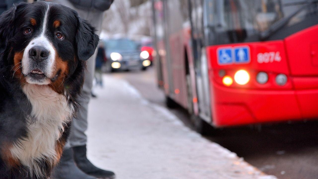 Pies w autobusie? Tak, ale pod warunkiem. Wyjaśniamy zasady